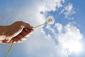 Dandelion Clocks in a man's hand — Stock Photo