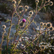 Burdock with evening sun back-lit — Stock Photo