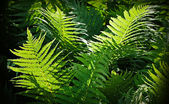 Forest fern nature background — Stock Photo