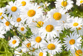 Wild chamomile on a meadow — Stock Photo