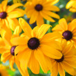 Bright yellow rudbeckior Black Eyed Susflowers in garden — Stock Photo #12364991