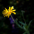 Yellow marigold with sunbeam in the dark — Stock Photo