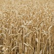 Wheat field — Stock Photo #11843261