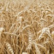 Closeup view of a wheat field — Stock Photo