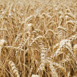 Closeup view of a wheat field — Stock Photo #11843287
