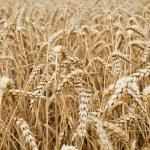 Closeup view of a wheat field — Stock Photo