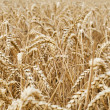 Closeup view of a wheat field — Stock Photo #11843297