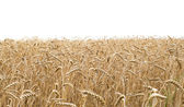Wheat field and white background — Stock Photo