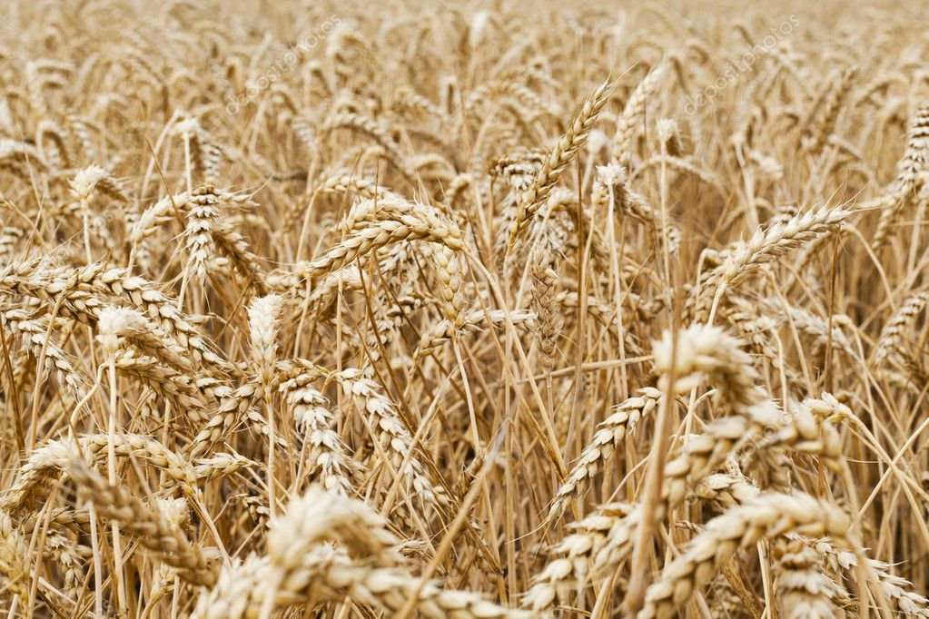 Wheat field to illustrate agriculture and the harvest season — Stock Photo #11843297