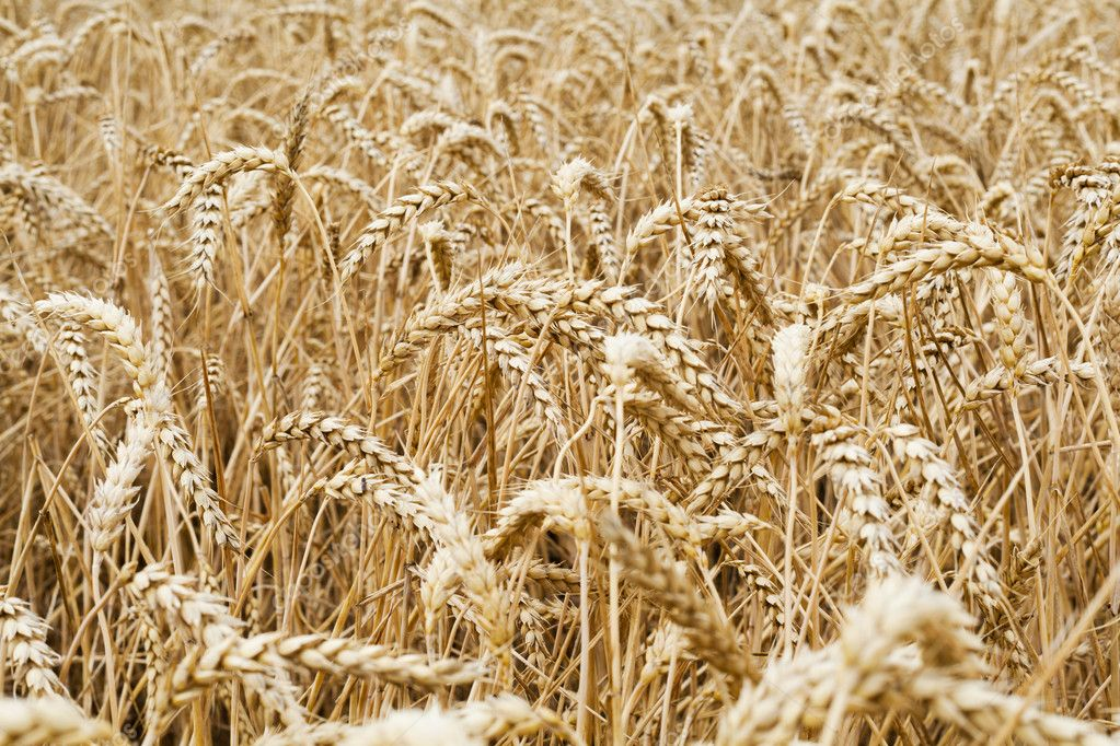 Wheat field to illustrate agriculture and the harvest season — Stock Photo #11843308