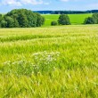 Barleycorn field — Stock Photo