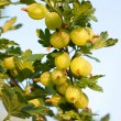 Gooseberries ripening on their branches — Stock Photo