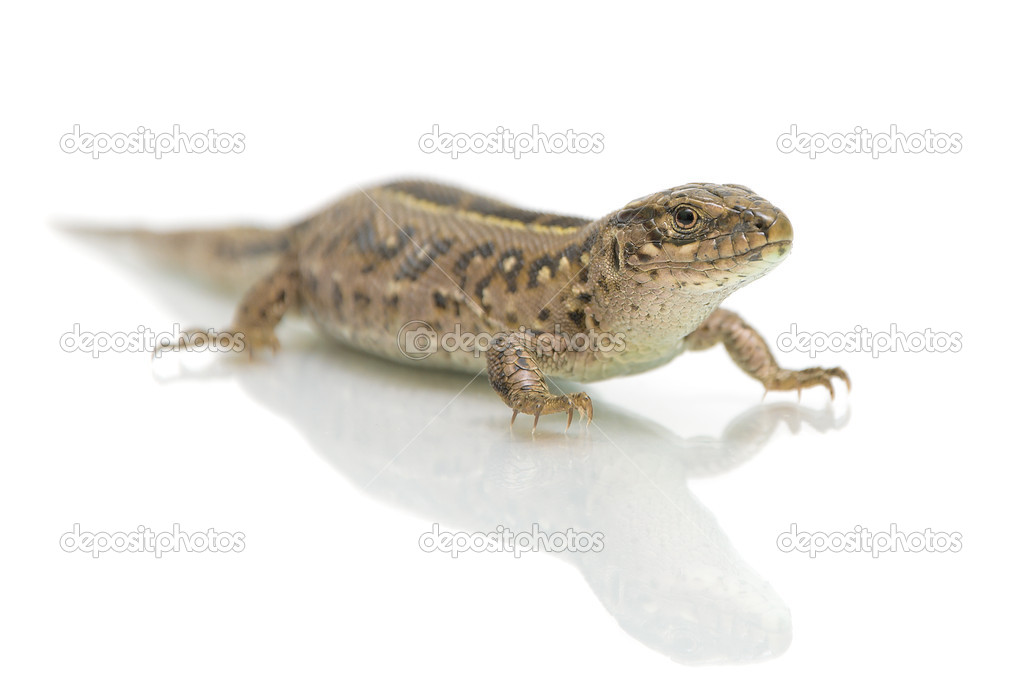 Lizard on white background with a reflection of a close-up — Stock Photo #10734879