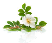 Flower hips on a white background — Stock Photo