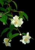 A branch of jasmine on a black background — Stock Photo