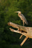 Great Blue Heron Sentinel — Stock Photo