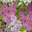 Bushes of lilac of different color — Stockfoto #11131292