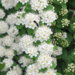 The spiraea blossoms — Stock Photo