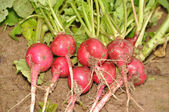 The crop of a large garden radish on the earth — Stock Photo