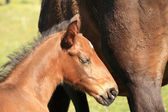 Young foal with his mother in a field in spring — Stock Photo