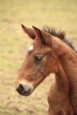 Jeune poulain a ses premiers pas dans la prairie — Photo