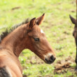 Stock Photo: Young foal has his first steps in meadow