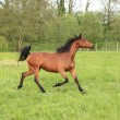Stock Photo: Horse galloping in a meadow in spring