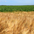 Barley fields in the summer before harvest — Stock Photo #11972116