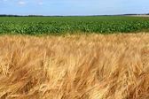 Gerst velden in de zomer vóór oogst — Stockfoto