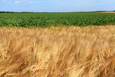 Barley fields in the summer before harvest — Stock Photo