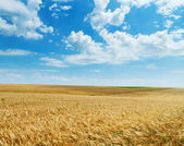 Field of wheat under cloudy sky — Stock Photo