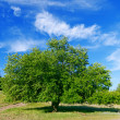 Summer landscape of green tree with bright blue sky — Stok fotoğraf