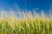 Campo de trigo verde y cielo nublado — Foto de Stock