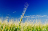 One green wheat on field and deep blue cloudy sky — Stock Photo
