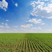Pola z zielonym słoneczniki w pochmurne niebo — Zdjęcie stockowe