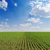 Veld met groene zonnebloemen onder bewolkte hemel — Stockfoto