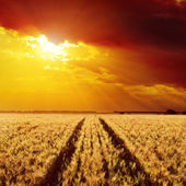 Road in field of barley and golden sunset — Stock Photo
