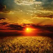 金黄的麦田和日落 — 图库照片