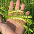 Green wheat in hand — Stock Photo #11398671