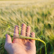 Green wheat in hand — Stock Photo