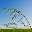 Green oats on the field — Stock Photo