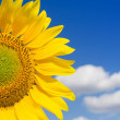 Part of sunflower and blue sky — Stock Photo