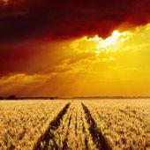 Golden wheat field and sunset — Stock Photo