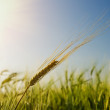 Green barley under sun — Stock Photo