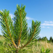 Young shot of pine — Stock Photo