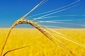 Una dorada espiga de trigo — Foto de Stock