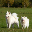 Stock Photo: Samoyed and japanese spitz in park