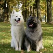 Stock Photo: Keeshond and samoyed in park