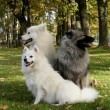 Stock Photo: Keeshond, samoyed and japanese spitz in park