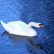 Beautiful white swan swimming and drinking water — Stock Photo